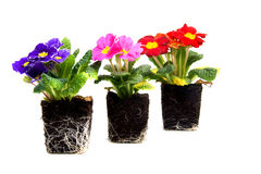 Colorful primula flower Stock Photography