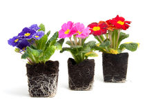 Colorful primula flower in garden soil Stock Photography