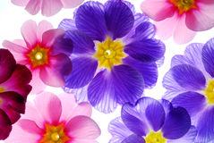 Colorful primula flowers royalty free stock images