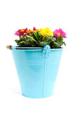 Colorful primula flowers in bucket Royalty Free Stock Photo