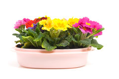 Colorful Primula flowers in pink pot Stock Photo