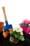 Colorful Primulas Royalty Free Stock Photography