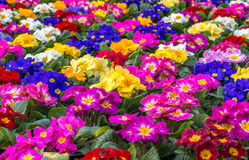 Colorful Primulas. Center focus on a field of colorful primulas Royalty Free Stock Photos