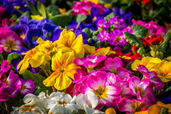 Colorful Primulas. Center focus on a group of colorful primulas Stock Photo