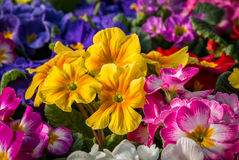Colorful Primulas. A macro photo with shallow focus on a vibrant group of primula Royalty Free Stock Photography