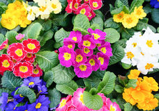 Colorful primulas in spring Royalty Free Stock Photo
