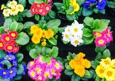 Colorful primulas in spring Stock Photos