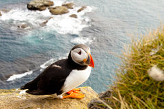 Colorful Puffin In Latrabjarg - Iceland Royalty Free Stock Photo