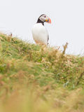 Colorful Puffin isolated in natural environment stock photography