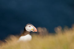 A colorful Puffin Portrait in far faer oer cliffs Royalty Free Stock Images