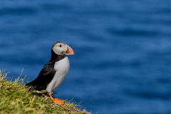 A colorful Puffin Portrait isolated in natural enviroment on blue background Stock Photos