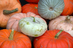 Colorful pumpkin harvest Royalty Free Stock Photography