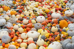 Colorful pumpkins in the field Stock Image