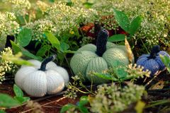 Colorful pumpkins in garden, handmade products by knit stock photography