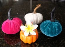 Colorful pumpkins and Plumeria, an autumn scene royalty free stock photo
