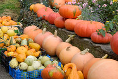 Colorful Pumpkins in rows. Rows and boxes full of colorful pumpkins in a farmyard stock photography
