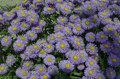 Colorful purple alpine Aster, Astra Verghinas or daisies flowers bunched together blooming in a garden, district Drujba. Sofia, Bulgaria royalty free stock photos