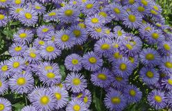 Colorful purple alpine Aster, Astra Verghinas or daisies flowers bunched together blooming in a garden, district Drujba. Sofia, Bulgaria stock images