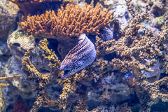 Free Colorful Purple Fish In Aquarium Of Oceanario, Lisbon Royalty Free Stock Photos - 79858228