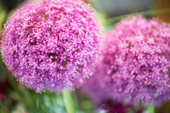 Colorful purple flower of Allium giganteum Stock Photos
