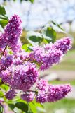 Colorful purple lilacs blossoms with green leaves. Lilac. Lilacs, syringa or syringe. Colorful purple lilacs blossoms with green leaves. Floral pattern. Lilac royalty free stock photo