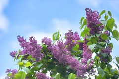 Colorful purple lilacs blossoms with green leaves. royalty free stock photo
