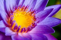 Colorful of purple Lotus Stock Image