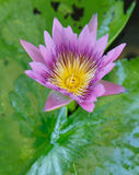 Colorful Purple lotus flower  in pond. Colorful soft Purple lotus flower  in pond Royalty Free Stock Photography