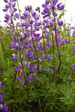 Colorful purple lupine. Multi-colored lupine flowers offset by a white sky and green foliage Stock Photography