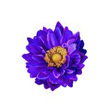 Colorful Purple Mona Lisa flower, Spring bloom Stock Image