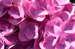 Colorful purple pink hydrangea head. With its dense cluster of small flowers in bright summer sunshine, close up detail Stock Photo