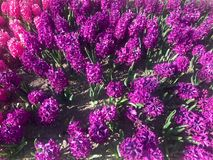 Purple hyacinth flowers blossom Royalty Free Stock Photo