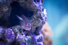 Colorful purple and pink tropical fish swimming in purple coral reef. A multi colored purple and pink tropical fish swims among purple hard corals on an ocean Stock Photos