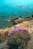 Colorful purple plant on the coast of Crete Stock Images