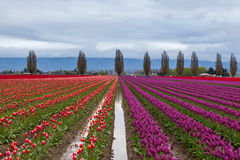Colorful purple and red tulip field in spring Royalty Free Stock Photo
