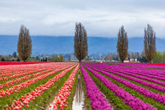 Colorful purple and red tulip field in spring Stock Photos