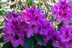 Colorful purple rhododendron in bloom close-up on blury garden background stock images