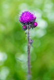 Colorful purple thistle Stock Photography