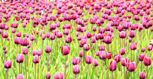 The colorful purple tulips Stock Image