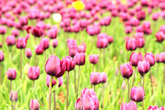The colorful purple tulips Stock Photography