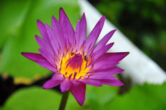 Colorful purple water lily with bee in macro shot Royalty Free Stock Photos