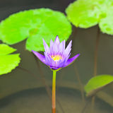 Colorful purple water lily Stock Photo
