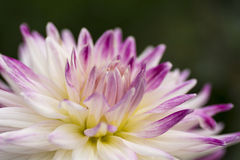 Colorful Purple and White Dahlia Flower Royalty Free Stock Photography
