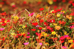Colorful Purslane flowers. Close up Royalty Free Stock Photos