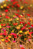Colorful Purslane flowers. Close up Royalty Free Stock Images