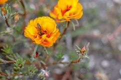 Colorful Purslane flowers in the garden with a bee. Orange moss rose, Portulaca, or Purslane background. Colorful Purslane flowers in the garden. Moss rose royalty free stock images