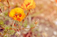 Colorful Purslane flowers in the garden with a bee. Orange moss rose, Portulaca, or Purslane background. Colorful Purslane flowers in the garden. Moss rose stock photo