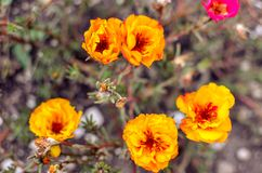 Colorful Purslane flowers in the garden. Orange moss rose, Portulaca, or Purslane background. Colorful Purslane flowers in the garden. Moss rose, Portulaca, or royalty free stock images