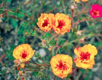 Colorful Purslane flowers in the garden. Orange moss rose, Portulaca, or Purslane background. Colorful Purslane flowers in the garden. Moss rose, Portulaca, or stock photos