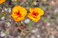 Colorful Purslane flowers in the garden. Orange moss rose, Portulaca, or Purslane background. Colorful Purslane flowers in the garden. Moss rose, Portulaca, or royalty free stock photography